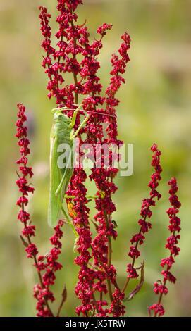 Super Green Bush cricket Tettigonia Viridissima die größte der britischen Heuschrecken und Grillen auf sauerampfer - Stockfoto