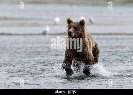 Ein Grizzly Bär sub-Erwachsener jagt Chum salmon im unteren Lagune am McNeil River State Game Sanctuary auf der - Stockfoto