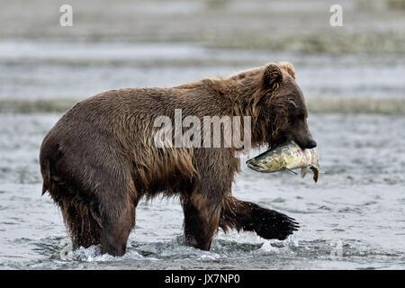 Ein Grizzly Bär Sub - Erwachsene Fänge chum salmon im unteren Lagune am McNeil River State Game Sanctuary auf der - Stockfoto