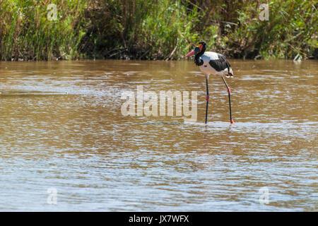 Sattel-billed Stork, Ephippiorhynchus senegalensis, in Sabi Sand Reserve an MalaMala, Südafrika. - Stockfoto
