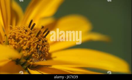 Schließen Sie die gelben Kegel Blüte im Garten - Stockfoto