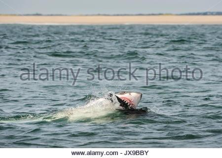 Ein großer Weißer Hai beißt eine Dichtung decoy aus Cape Cod. - Stockfoto