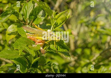 Grüne Heuschrecke Mischung in den Blättern - Stockfoto