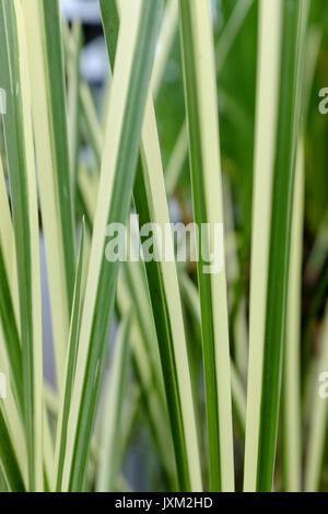 Gestreifte vertikale Gräser. - Stockfoto