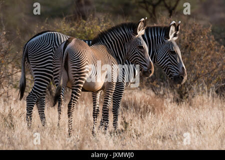 Die Grevy Zebra (Equus grevyi), Kalama Conservancy, Samburu, Kenia, Kenia, Afrika - Stockfoto