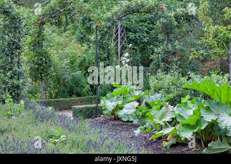 Gemüse- und Obstgarten mit roten, grünen Äpfeln auf Pergola, Rhabarber wächst vor lila Lavendel. - Stockfoto