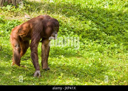 Bornesischen Orang-utan (Pongo pygmaeus) Model Release: Nein Property Release: Nein. - Stockfoto