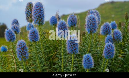 Madeira - Blau blühenden Blumen der Stolz der Madeira genannt - Stockfoto