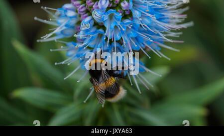 Madeira - blau blühende Stolz von Madeira Blume mit ruhenden bumblebee Center - Stockfoto