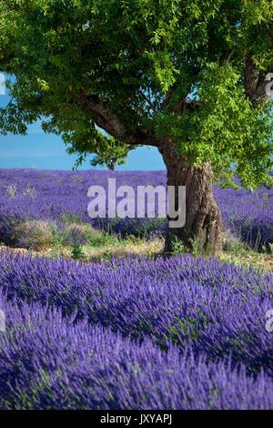 Einsame Mandelbaum im Bereich der lila Lavendel in der Nähe von valensole, Provence, Frankreich - Stockfoto