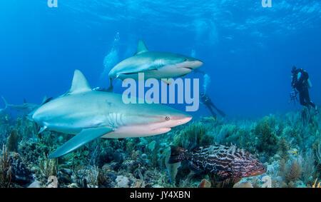 Karibische Riffhaie schwimmen über die Coral Reef, Gärten der Königinnen, Kuba. - Stockfoto