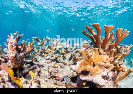 Unterwasser riff Szene mit Hartkorallen und Schulen der tropischen Fische im flachen Wasser, Gärten der Königinnen, - Stockfoto