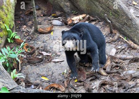 Malaysische sun bear, Borneo - Stockfoto