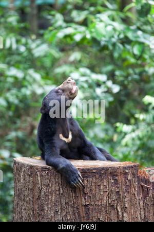 Sun Bear auf einem Baum, Borneo, Sabah, Malaysia - Stockfoto
