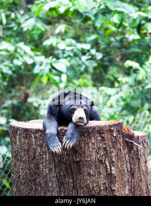 Sun Bear, Borneo, Malaysia - Stockfoto