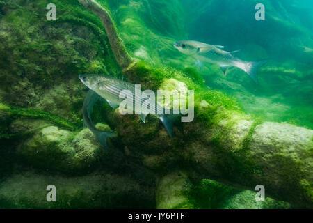 Die thinlip Meeräsche von Skradinski Buk, Krka Nationalpark - Stockfoto
