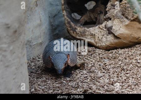 Big hairy Armadillo wilden Süden amerikanische Tier - Stockfoto