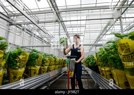 Deutschland, Berlin, kombinierten Basilikum und Tilapia-fisch Bauernhof von Start up ECF, der Fischzucht mit grüne - Stockfoto