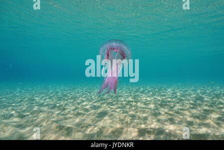 Ein mauve Stinger Quallen Pelagia noctiluca Unterwasser zwischen einem sandigen Meeresboden und die Wasseroberfläche, Mittelmeer, Spanien, Costa Brava, Katalonien Stockfoto
