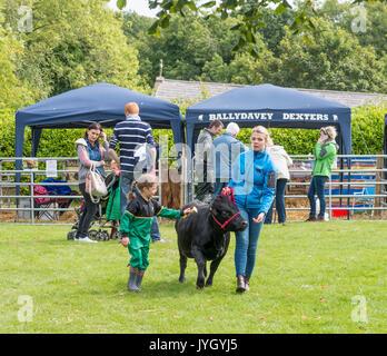 Holywood, Nordirland, Großbritannien. 19. August 2017. Ein Fest der Einheimischen und traditionellen Rassen auf - Stockfoto