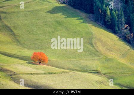 Einsame Kirschbaum mit herbstlichen Blätter. Santa Maddalena, Funes, Bozen, Trentino Alto Adige, Südtirol, Italien, - Stockfoto