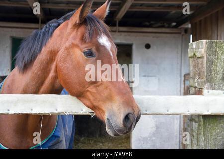 Braunes Pferd im offenen Stall - Stockfoto