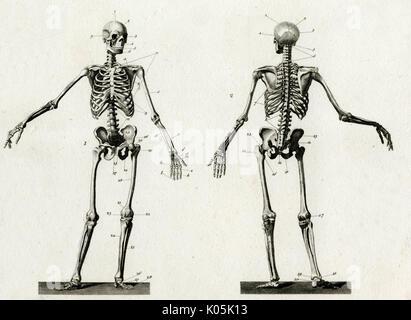 Skelett Vorder- und Rückansicht Diagramm Stockfoto, Bild: 310033372 ...