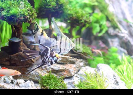 Fisch schwimmt im Wasser, unterwasser Leben sehr lebendig und schön, Leute häufig indoor Aquarium für Feng Shui - Stockfoto