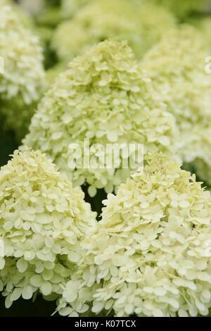 Hydrangea paniculata 'Limelight' anzeigen Cluster von auffälligen Creme und Kalk Blumen in einem Englischen Garten - Stockfoto