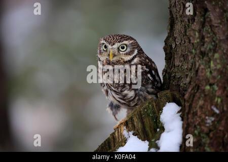 Steinkauz (Athene noctua), wachsam auf Ausblick in den Schnee im Winter, Zdarske Vrchy, Böhmisch-Mährische Höhe - Stockfoto