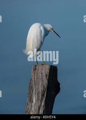 Snowy Egret (Egretta thula) auf Post in Chapala See, Ajijic, Jalisco, Mexiko thront. - Stockfoto