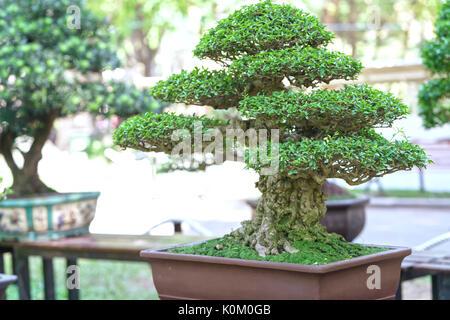 zypresse bonsai stockfoto bild 276137082 alamy. Black Bedroom Furniture Sets. Home Design Ideas