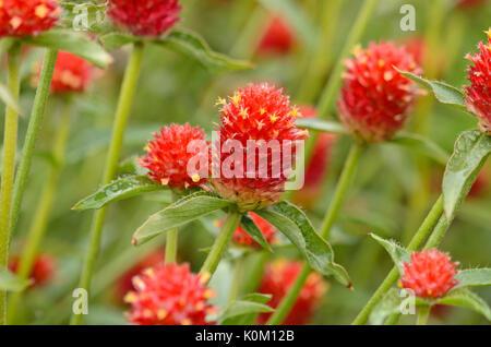 Globus Amaranth (gomphrena Nana) - Stockfoto