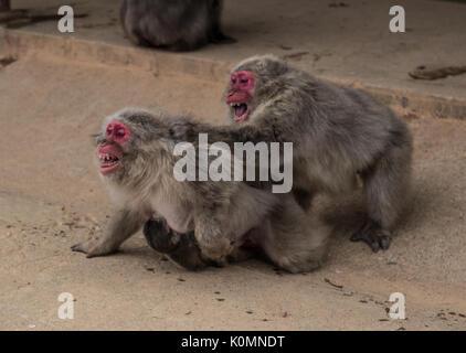 Japanische macaque Affen Kampf auf einer staubigen Straße in Kyoto, Japan mit Baby halten auf seine Mutter