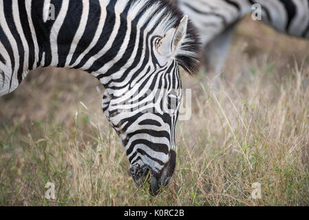 Burchell's Zebra Beweidung im Kruger National Park - Stockfoto