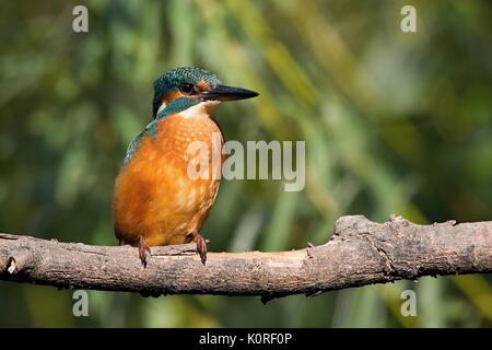 Gemeinsame Eisvogel, Alcedo atthis. Kingfisher sitzen auf einem Ast. - Stockfoto