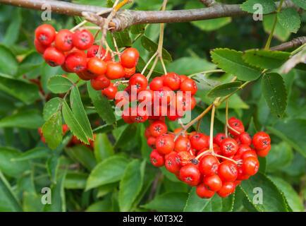 Kleine rote Beeren aus einer Eberesche (Sorbus aucuparia Eberesche) oder im frühen Herbst in Großbritannien. - Stockfoto