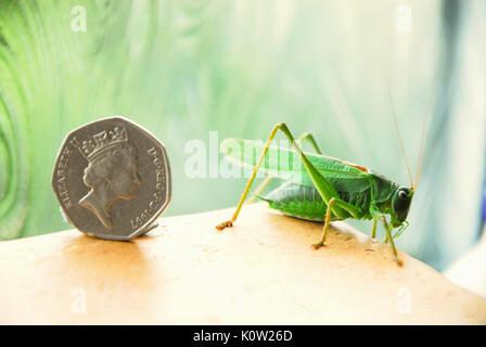 Fortuneswell, Dorset, Großbritannien. 24 Aug, 2017. Warmes Wetter bringt ein Mann großen Green Bush Cricket (Tettigonia - Stockfoto