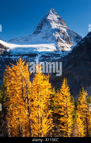 Mount Assiniboine und goldene Lärchen im Herbst, Mount Assiniboine Provincial Park, Rocky Mountains, British Columbia, - Stockfoto