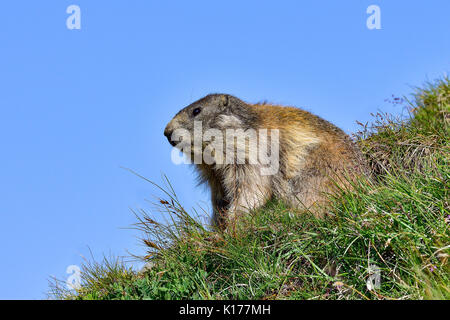 Alpine marmot - Stockfoto