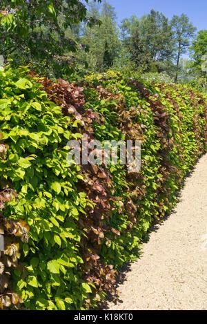 Gemeinsame Gemeinsame Hainbuche (Carpinus betulus) und Rotbuche (Fagus &VI_73