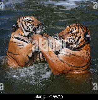 Closeup Portrait von zwei Indochinesischen Tiger, im See in der Buddhistischen Tiger Tempel, Kanchanaburi, Thailand spielen