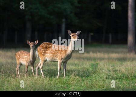 Sika Deer. Cervus Nippon - Stockfoto