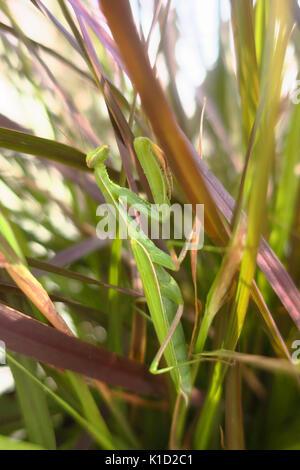 Eine grüne Gottesanbeterin sitzen auf einem Stiel. - Stockfoto