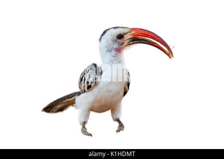 Red-billed Hornbill (Tockus erythrorhynchus) Essen eine Heuschrecke, auf weißem Hintergrund. - Stockfoto