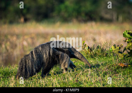 Großer Ameisenbär (Myrmecophaga tridactyla), Pantanal, Mato Grosso do Sul, Brasilien - Stockfoto