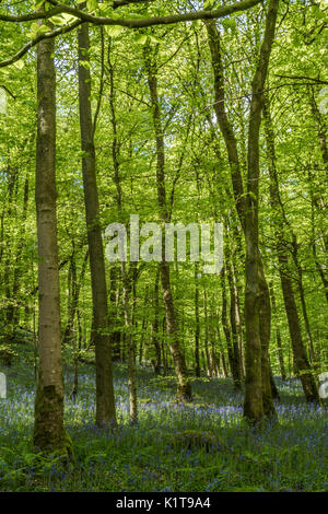Waldland, Bolton Abbey in der Nähe von Skipton, North Yorkshire - Stockfoto