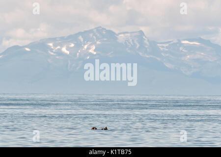 Eine schlafende Sea Otter schwimmt auf dem Cook Inlet Vergangenheit die Chigmit Mountains, Anchor Point, Alaska. - Stockfoto