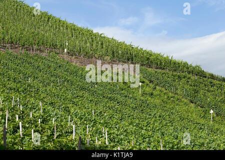 Weinberg, Bremm, Mosel, Rheinland-Pfalz, Deutschland