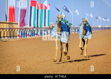 Kamele mit Roboter jokeys bei racing Praxis in der Nähe von Dubai, VAE - Stockfoto
